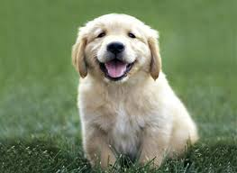 golden retriever dogs pictures