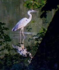 herons birds