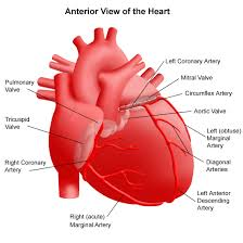 anatomy of the heart pictures