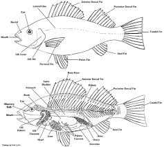 labeled diagram of a fish