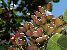 how are pistachios grown