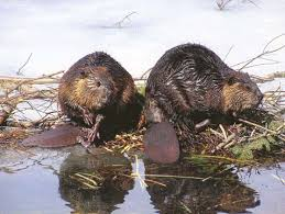 beavers animals