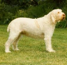italian spinone dogs
