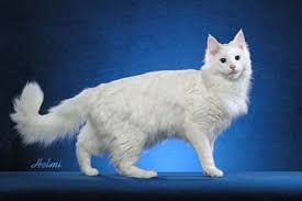 long haired white cats