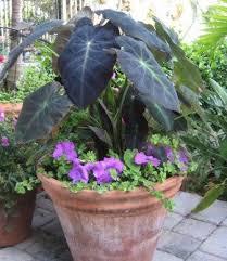colocasia black beauty