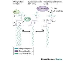 lysophosphatidic acid