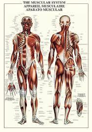 anatomical muscle chart
