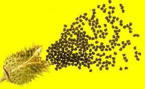 jimson weed seed
