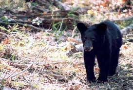 black bears habitat