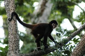 SPIDER MONKEY IMAGES