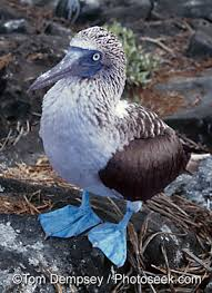 blue footed booby picture