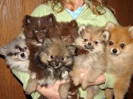 pom dogs