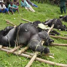 Dead mountain gorilla family