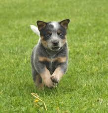 queensland puppies