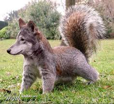 wolf squirrel