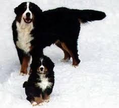 bernese mtn dogs