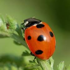 insects ladybirds