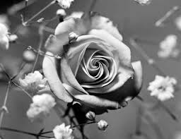 pictures of black and white roses