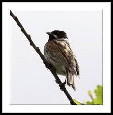 black head bird