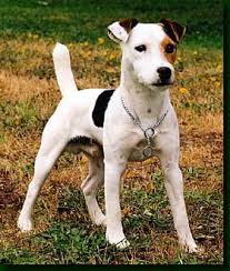 jack russell terrier dog pictures
