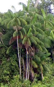 euterpe oleracea