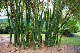 buddha belly bamboo