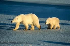 a polar bears diet