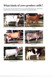 different cow breeds