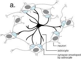 cortical neuron