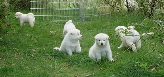 perros akitas