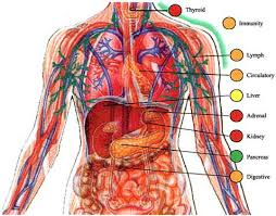 body systems pictures