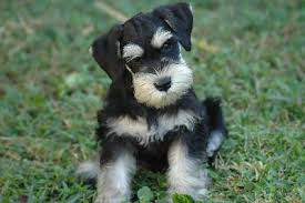 mini schnauzers puppies