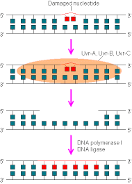 dna repair mechanism