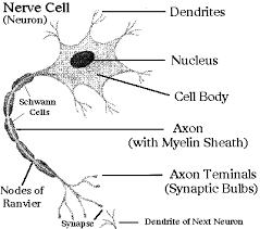 nerve body
