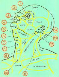 human anatomy head and neck
