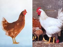 brown shaver chickens