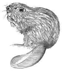 beaver drawing