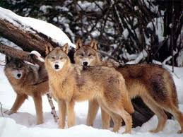 pictures of wolves in the wild