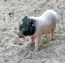 baby pot belly pig