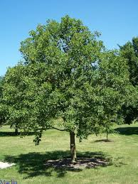 picture of buckeye tree