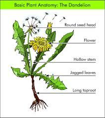 dandelion plants