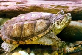 common snapper turtle