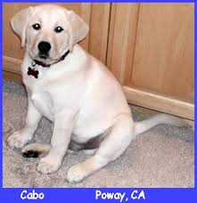 english yellow lab puppies