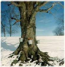 maple trees syrup