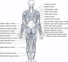muscles trapezius