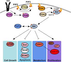 pi3k akt signaling pathway