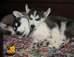 pet huskies