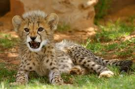 baby cheetah photos