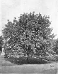 american ash trees