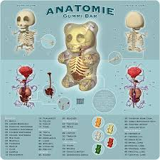 anatomy of a bear